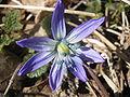 Scilla siberica R0015593.JPG