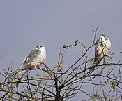 Scissor-tailed Kite.jpg