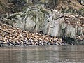 Sea Lions Haulout 2008 WC06.jpg