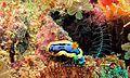 Sea Slug (Chromodoris annae) (6135857641).jpg