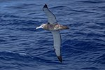 Seabirds of the Drake Passage crossing to the Antarctic Peninsula.Wandering Albatross (Diomedea exulans). (25369795203).jpg