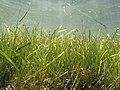 Seagrass Zostera marina (Dzharylhach island).jpg