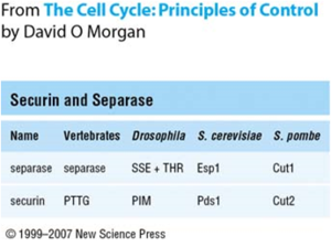 Securin - Figure 1: Securin and separase are widely conserved