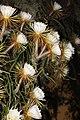 Selenicereus grandiflorus.jpg
