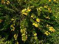 Senna polyphylla (3053222868).jpg
