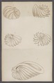 Sepia spec. - - Print - Iconographia Zoologica - Special Collections University of Amsterdam - UBAINV0274 090 07 0013.tif
