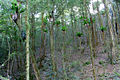 Shatterwood & Birds Nest Ferns.JPG