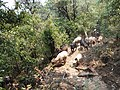 Sheep in the forest, dolakha.jpg