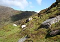 Sheep near the Kerry Way pass - geograph.org.uk - 451275.jpg