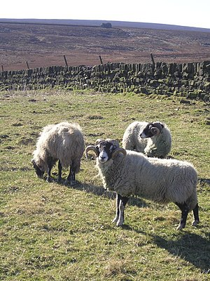 Craven - The mediaeval monasteries converted unused wilderness into sheep farms