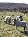 Sheep off Buckstone Lane - geograph.org.uk - 130285.jpg