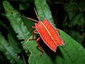 Shield Bug (Pycanum rubens) nymph (6635674549).jpg