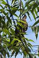 Short-billed Pigeon - Rio Tigre - Costa Rica MG 9030 (26423617420).jpg