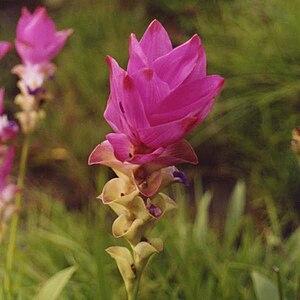 Curcuma alismatifolia - Image: Siam Tulip