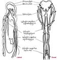 Sistema Nervoso de Eunicida.png