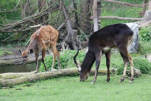 Nile lechwe - The main diet of the Nile lechwe mostly includes grasses. Here a male (blackish) together with a sitatunga