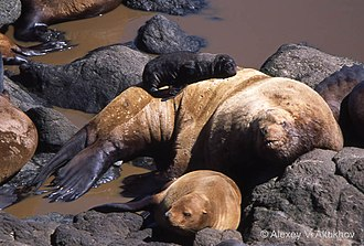 Steller sea lion - Steller sea lion adult male, female and pup on Yamsky Islands in the northeast Sea of Okhotsk