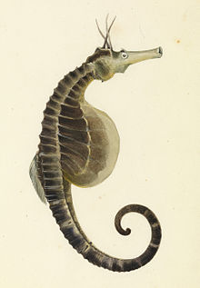 Sketchbook of fishes - 18. (Pot bellied) Sea horse - William Buelow Gould, c1832.jpg
