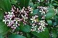 Skimmia japonica, blossom1.jpg