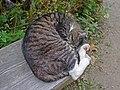 Sleeping cat. - panoramio.jpg