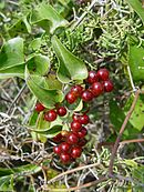 Leaves and berries of Smilax aspera