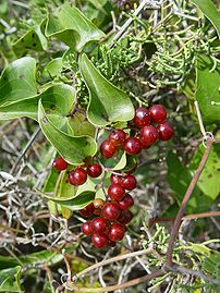 Smilax aspera in fruit