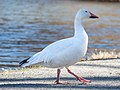 Snow goose in Central Park (33036).jpg