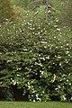 Snowball Viburnum Viburnum plicatum Bush.jpg