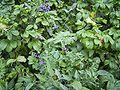 SolanumDulcamara-plant2-sm.jpg