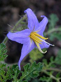 Solanum citrullifolium flower