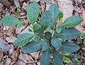 Solanum diphyllum 08.JPG