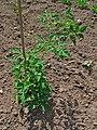 Solanum lycopersicum 001.JPG