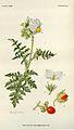 Solanum sisymbrifolium00.jpg