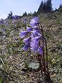 Soldanella alpina Rax 1.jpg