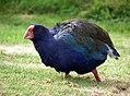 South Island Takahe. (Porphyrio hochstetteri) (8177479445).jpg