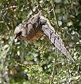 Speckled Mousebird (Colius striatus) (32400092522).jpg