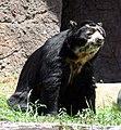 Spectacled Bear (2534733319).jpg