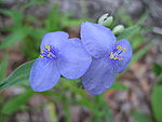 Spiderwort Blue Flower 1.JPG