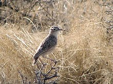 Spike-heeled Lark 001.jpg