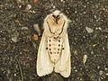 Spilosoma lubricipeda (14063134020).jpg