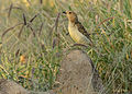 Spotted Bowerbird - Chlamydera maculata.jpg