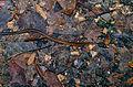 Spotted Keelback (Xenochrophis maculatus) juvenile (14197190512).jpg