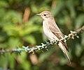 Spotted flycatcher (50355354471).jpg