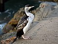 Spotted shag.NZ (Stictocarbo punctatus) (11415901286).jpg