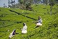 SriLanka TeaHarvest (pixinn.net).jpg