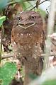 Sri Lanka Frogmouth (13641529325).jpg