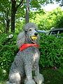 Standard Poodle.JPG
