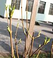 Staphylea pinnata 6869.JPG