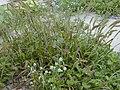 Starr-010520-0041-Cenchrus echinatus-habit-Inland-Kure Atoll (24450392571).jpg