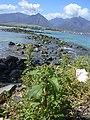 Starr-040203-0015-Chenopodium murale-habit-Kanaha Beach-Maui (24698301905).jpg